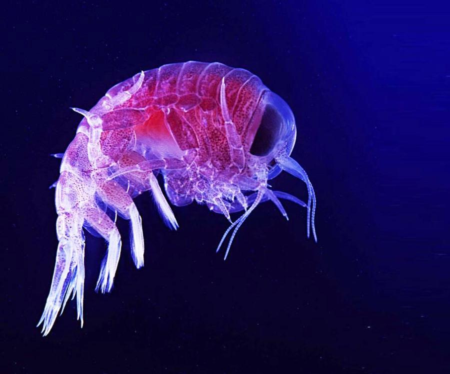 планктон в черном море фото